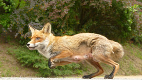 Tame fox jumping Royalty Free Stock Photos