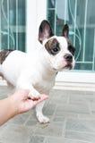 Tame French bulldog Royalty Free Stock Image