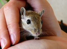 Tame gerbil. Looking out of the hole made of finders Stock Images