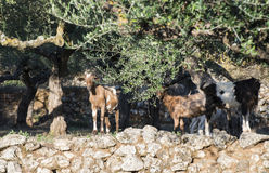 Tame goats among the olive trees Stock Photos
