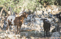Tame goats among the olive trees Stock Photo