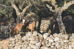 Tame goats among the olive trees Royalty Free Stock Photography