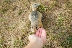 Tame gopher in grass eats with hand, closeup. Tame gopher in the grass eats with hands, close up, horizontally stock photography