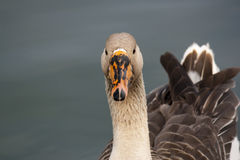 Greylag goose in Lake Morton Royalty Free Stock Photos