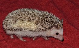 Young hedgehog exploring its urban surroundings. Stock Photo