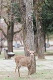 Tame sika deer in Nara Japan. A tame Japanese deer in a park in Nara Japan stock image