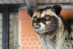 Tame Luwak - wild viverra living in forests in Asia. Tame Luwak - wild viverra living in forests on Bali island, make most expensive coffee in world. Travels in Royalty Free Stock Images