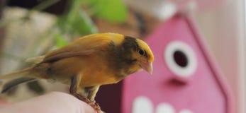 Tame pet bird Stock Photo