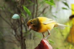 Tame pet bird Stock Photography