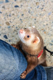 Tame polecat playing with a man Royalty Free Stock Images
