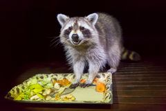 Tame raccoon with food in dark night. Tame adult raccoon with food in dark evening royalty free stock image