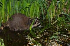 A tame Raccoon has fun in the Water. Stock Image