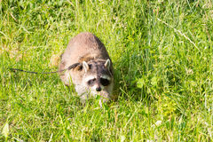 A tame Raccoon with a leading reins. A tame Raccoon with a leading reins on a walk over a meadow,investigating the surrounding Royalty Free Stock Image