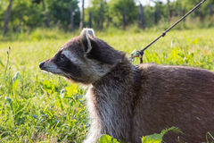 A tame Raccoon with leading reins. A tame Raccoon is pulling his leading reins because it want to run faster Royalty Free Stock Photo