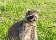 A tame Raccoon sitting on a meadow. A tame Raccoon with leading reins is sitting on a meadow Stock Photos