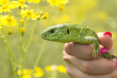 Tame Reptile Royalty Free Stock Photography
