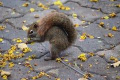 Tame squirrel at Bangkok Park Royalty Free Stock Photos