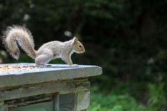 A tame Squirrel in Snowdonia. One tame little squirrel in Snowdonia National Park, deep in Wales royalty free stock image