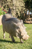 A tame warthog on the lawn Stock Images
