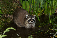A tame, wet Raccoon is lokking into the camera. A tame, wet Raccoon standing in Water, is lokking into the camera Royalty Free Stock Images