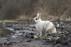 Tame wild rabbit sits on farmland near farm Stock Photo