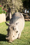 Tame Worthog grazing on lawn. Royalty Free Stock Photo