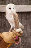 Tamed barn owl Royalty Free Stock Photo