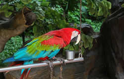 Tamed colorful parrot Stock Image