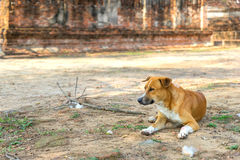 Tamed dog lay on dusty floor in Thailand Royalty Free Stock Photography