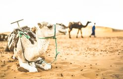 Tamed dromedary resting after desert ride excursion in Merzouga. Dromedary resting after desert ride excursion in Merzouga area near Erg Chebbi dunes in Sahara royalty free stock image
