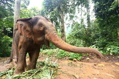 Tamed Elephant in jungle deep forest for Tourism Stock Photos