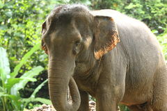 Tamed Elephant in jungle deep forest for Tourism Stock Images