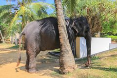 Tamed elephant Royalty Free Stock Photo