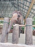Tamed Elephants stock photos