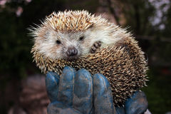 Tamed hedgehog Stock Photos