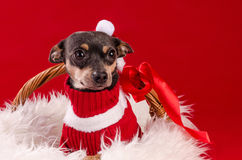 Tamed pincher dog in Christmas basket Royalty Free Stock Image