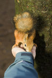 The tamed squirrel. Royalty Free Stock Photo