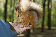 The tamed squirrel Royalty Free Stock Photo