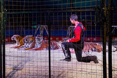 Tamed Tigers Royalty Free Stock Image