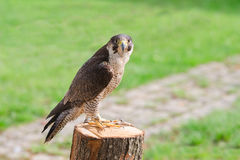 Tamed and trained fastest bird predator falcon or hawk. Tamed and trained for hunting fastest bird predator falcon or hawk perched on stump and staring into the Stock Photos