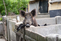 Tamed wild boar stock photo