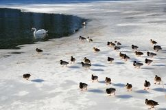 Tamed wild ducks and a swan in the frozen pond Royalty Free Stock Image