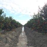 Tamgerine树在农场 免版税库存照片