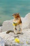 Tamia d'écureuil Photo libre de droits