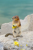 Tamia d'écureuil Image libre de droits