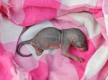 Tamia de bébé Photographie stock