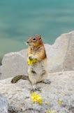 Tamia dello scoiattolo Immagine Stock Libera da Diritti