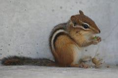 Tamia mangeant des écrous photographie stock libre de droits