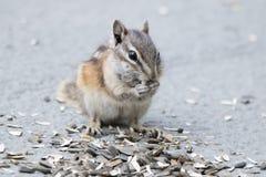 Tamia mangeant des graines photographie stock libre de droits