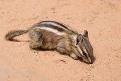 Tamia se reposant et mangeant dans le sable coloré du désert en Arizona photographie stock